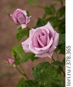 Розы. Стоковое фото, фотограф Сергей Бондарук / Фотобанк Лори