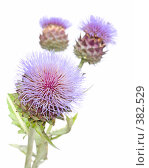 Купить «Цветы артишока Cynara cardunculus», фото № 382529, снято 2 августа 2008 г. (c) Tamara Kulikova / Фотобанк Лори