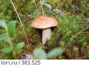 Купить «Белый гриб.Лучшая находка грибника», фото № 383525, снято 2 августа 2008 г. (c) Татьяна Дигурян / Фотобанк Лори