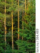Сосновый лес. Стоковое фото, фотограф Александр Иванов / Фотобанк Лори