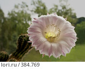Купить «Цветок кактуса», фото № 384769, снято 14 июля 2008 г. (c) Сергей Бондарук / Фотобанк Лори