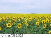 Купить «Поле подсолнухов», фото № 386329, снято 21 июля 2008 г. (c) Александр Катайцев / Фотобанк Лори