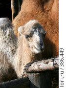 Верблюжонок. Стоковое фото, фотограф Юлия Паршина / Фотобанк Лори