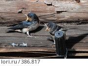 Купить «Птенцы ласточек», фото № 386817, снято 28 июля 2008 г. (c) Нестерова Анна / Фотобанк Лори