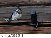 Купить «Птенец ласточки», фото № 388541, снято 28 июля 2008 г. (c) Нестерова Анна / Фотобанк Лори