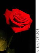 Купить «Роза на черном фоне», фото № 391609, снято 6 августа 2008 г. (c) Лифанцева Елена / Фотобанк Лори