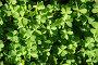 Зеленый растительный фон, фото № 395801, снято 26 июня 2008 г. (c) Савицкая Татьяна / Фотобанк Лори