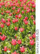 Купить «Поле красных тюльпанов», фото № 395825, снято 26 мая 2008 г. (c) Лилия Барладян / Фотобанк Лори