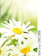 Купить «Ромашки», фото № 397509, снято 22 июля 2008 г. (c) Вероника Галкина / Фотобанк Лори