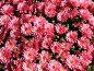 Хризантемы, фото № 397521, снято 8 августа 2008 г. (c) Наталья Волкова / Фотобанк Лори