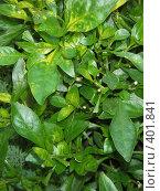 Купить «Фон из листьев», фото № 401841, снято 13 августа 2008 г. (c) Алла Кригер / Фотобанк Лори