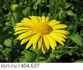 Купить «Дороникум подорожниковый - Doronicum plantagineum», фото № 404637, снято 18 июня 2008 г. (c) Беляева Наталья / Фотобанк Лори