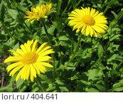 Купить «Дороникум подорожниковый - Doronicum plantagineum», фото № 404641, снято 18 июня 2008 г. (c) Беляева Наталья / Фотобанк Лори