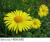 Купить «Дороникум подорожниковый - Doronicum plantagineum», фото № 404645, снято 21 июня 2008 г. (c) Беляева Наталья / Фотобанк Лори