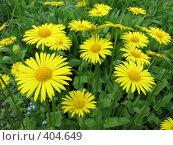 Купить «Дороникум подорожниковый - Doronicum plantagineum», фото № 404649, снято 21 июня 2008 г. (c) Беляева Наталья / Фотобанк Лори