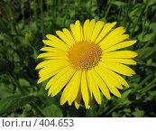 Купить «Дороникум подорожниковый - Doronicum plantagineum», фото № 404653, снято 18 июня 2008 г. (c) Беляева Наталья / Фотобанк Лори