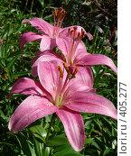 Купить «Темно-розовые лилии», фото № 405277, снято 6 августа 2008 г. (c) Екатерина Слива / Фотобанк Лори