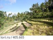 Купить «Рисовые поля на террасах, остров Бали, Индонезия», фото № 405665, снято 31 мая 2008 г. (c) Валерий Шанин / Фотобанк Лори