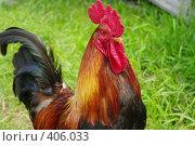Купить «Хозяин курятника», фото № 406033, снято 3 августа 2008 г. (c) Денис Шароватов / Фотобанк Лори