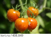 Купить «Спелые томаты», фото № 408849, снято 15 июля 2008 г. (c) Людмила Пашкевич / Фотобанк Лори