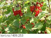 Купить «Красная смородина», фото № 409253, снято 17 августа 2008 г. (c) Анна Лукина / Фотобанк Лори