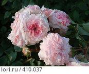 Купить «Розовые розы», фото № 410037, снято 25 июля 2008 г. (c) Комиссарова Ольга / Фотобанк Лори