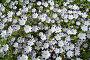 Пестрый фон из цветков немофилы пятнистой, фото № 410389, снято 17 февраля 2005 г. (c) Ольга Дроздова / Фотобанк Лори