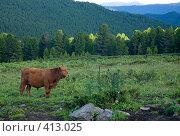 Таежный бык. Стоковое фото, фотограф Ковинько Игорь / Фотобанк Лори