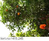 Купить «Апельсиновое дерево», фото № 415245, снято 16 июля 2008 г. (c) Максим Галкин / Фотобанк Лори