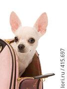 Купить «Маленькая собака выглядывает из сумки, изолировано на белом фоне», фото № 415697, снято 12 апреля 2008 г. (c) Валентин Мосичев / Фотобанк Лори
