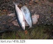 Купить «Две рыбины», фото № 416329, снято 22 сентября 2007 г. (c) Назаренко Ольга / Фотобанк Лори