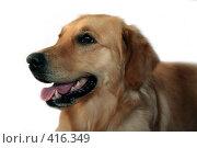 Купить «Собака породы голден ретривер», фото № 416349, снято 15 августа 2008 г. (c) Бондаренко Олеся / Фотобанк Лори