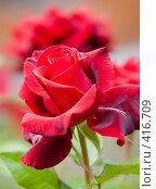 Купить «Цветок розы в саду», эксклюзивное фото № 416709, снято 17 июля 2008 г. (c) Алексей Бок / Фотобанк Лори