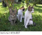Три котёнка. Стоковое фото, фотограф Светлана Кудрина / Фотобанк Лори