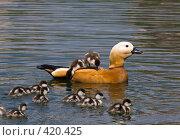 Купить «Самец красной утки с потомством на спине», фото № 420425, снято 27 мая 2006 г. (c) Василий Вишневский / Фотобанк Лори