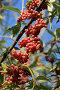 Красные ягоды осени на фоне голубого неба, фото № 420797, снято 8 ноября 2007 г. (c) Demyanyuk Kateryna / Фотобанк Лори