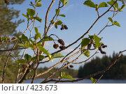 Купить «Ольха на лесном озере, весна, Карелия», фото № 423673, снято 19 мая 2007 г. (c) Max Toporsky / Фотобанк Лори