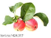 Купить «Райские яблоки изолировано на белом фоне», фото № 424317, снято 5 августа 2008 г. (c) Pshenichka / Фотобанк Лори