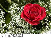 Купить «Красная роза в окружении гипсофилы», фото № 427221, снято 2 июня 2008 г. (c) Ольга Хорькова / Фотобанк Лори