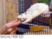 Купить «Кормление домашней крысы», фото № 428121, снято 15 ноября 2007 г. (c) Argument / Фотобанк Лори