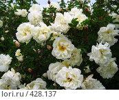 Купить «Белый шиповник», фото № 428137, снято 12 июня 2008 г. (c) Андрей / Фотобанк Лори