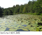 Заросли кувшинок на озере Кичиер. Стоковое фото, фотограф Ирина Трофимова / Фотобанк Лори
