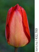 Купить «Цветок красного тюльпана в саду», фото № 432789, снято 3 мая 2008 г. (c) Алексей Бок / Фотобанк Лори