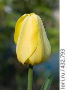 Купить «Цветок желтого тюльпана в саду», фото № 432793, снято 3 мая 2008 г. (c) Алексей Бок / Фотобанк Лори