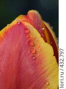 Купить «Капли дождя на тюльпане», фото № 432797, снято 3 мая 2008 г. (c) Алексей Бок / Фотобанк Лори