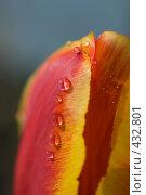 Купить «Капли дождя на тюльпане», фото № 432801, снято 3 мая 2008 г. (c) Алексей Бок / Фотобанк Лори