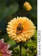 Купить «Оранжевые георгины в саду с сидящей бабочкой», эксклюзивное фото № 432853, снято 16 августа 2008 г. (c) Алексей Бок / Фотобанк Лори
