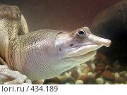 Купить «Черепаха мягкотелая», фото № 434189, снято 9 июня 2008 г. (c) Parmenov Pavel / Фотобанк Лори