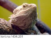 Купить «Бородатая агама (Pogona vitticeps)», фото № 434201, снято 9 июня 2008 г. (c) Parmenov Pavel / Фотобанк Лори