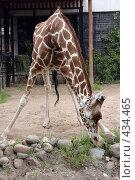 Купить «Жираф», фото № 434465, снято 9 июня 2008 г. (c) Parmenov Pavel / Фотобанк Лори